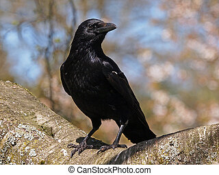 Crow sitting on a branch