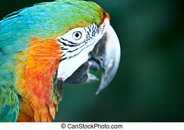 Beautiful Pet Parrot - Close-up of Blue and Yellow Macaw,...