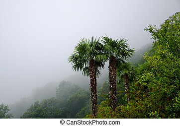 Palm trees in the fog - Palm trees on a foggy mountain