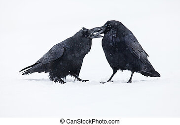 Ravens - Two ravens in winter during a snowfall