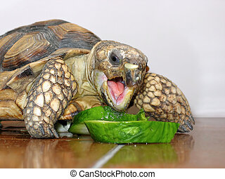 Turtle eating 1385 - Land Turtle eating