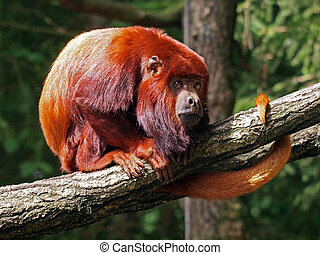 red howler monkey sitting on a branch