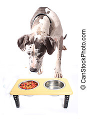 Great Dane and food bowl