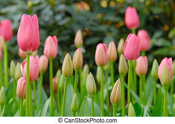 beautiful garden of colorful flowers in spring keukenhof,...