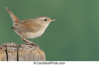 Winter wren on green background - Winter wren, Troglodytes...