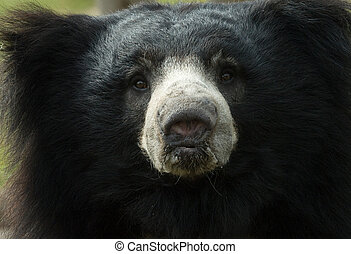 sloth bear - close-up of a sloth bear looking at the camera...