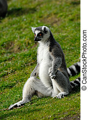 ring-tailed lemur  - funny image of a ring-tailed lemur