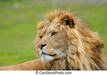 african male lion