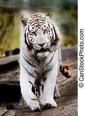 Beautiful white tiger walking towards the camera
