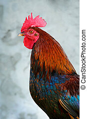 Colorful rooster - Close-up of a colorful rooster, Key West,...