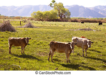 Cows cattle grazing in California meadows - Cows cattle...