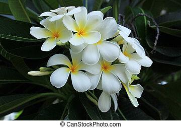 White Frangipani flower at full bloom.