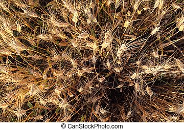 Wheat field - detail