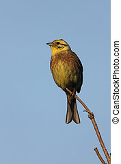 Yellowhammer, Emberiza citrinella, male, Scotland, summer...