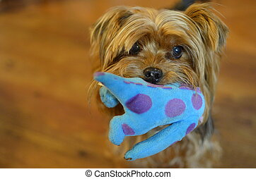 Yorkshire terrier bringing her toy - Little Yorkshire...