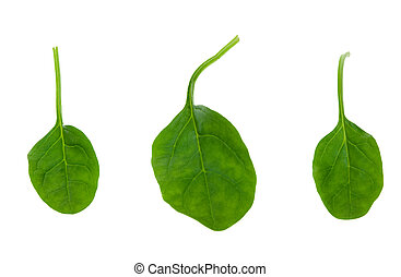 fresh spinach leaves isolated on a white background