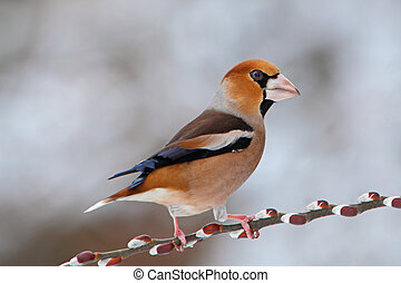 Hawfinch (Coccothraustes coccothraustes) on a branch