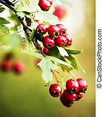 hawthorn branches on mature fruit - hawthorn hips in nature...