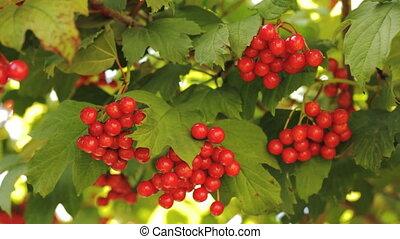 Berries of Viburnum opulus.