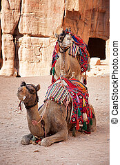 Camels in Petra - Pair of camels in the ancient city of...