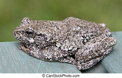 Sitting Tree Frog - A Gray Tree Frog (Hyla versicolor)...