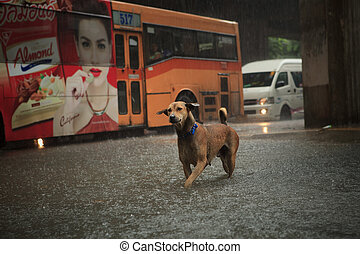 BANGKOK THAILAND - SEP14 : steet dog crossing sudden flood...