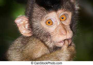 Portrait from a juvenile Pig-tailed Macaque