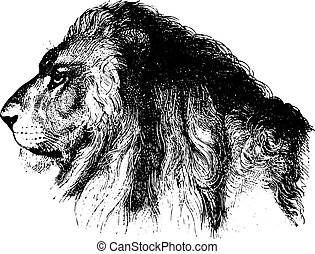Lion, vintage engraving - Lions face, vintage engraved...