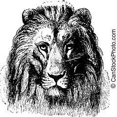Lion's face, vintage engraving. - Close up of a Lion's face,...