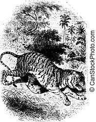 Tiger in forest, vintage engraving - Wild tiger in forest,...