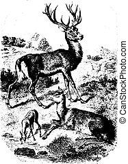 Deers and Reindeer, vintage engraving. - Deers and Reindeer...
