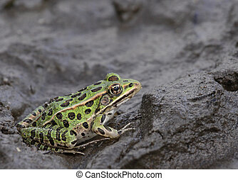 Leopard Frog in the Mud