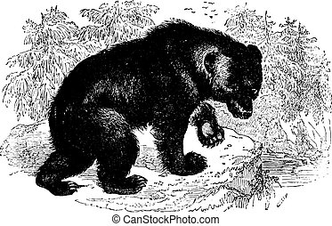 Bear, vintage engraving. - Aggressive Bear in forest,...