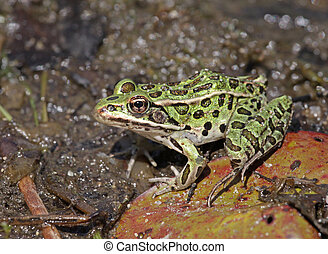 Bright Green Northern Leopard Frog