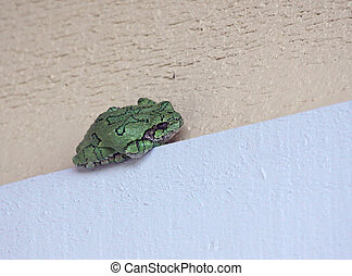 Sleeping Grey Tree Frog