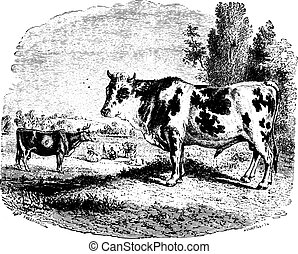 Cows on field, vintage engraving. - Cows grazing on field,...