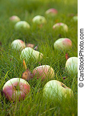 autumn - ripe apples of old variety in green grass, some...