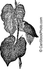 Kava or Piper methysticum, vintage engraving - Kava or Piper...