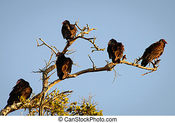 Vultures - Low angle view of Vultures on a tree branch, Fort...