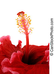 Stamen Of Hibiscus 2 - Striking profile of stamen of the...