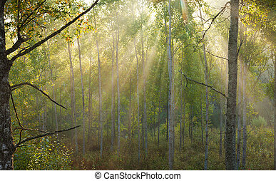 foggy morning - sunshine coming in visible rays through...
