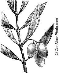 Olive branch with olives, vintage engraving