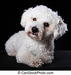 Bichon portrait - Portrait Bichon lying on dark background