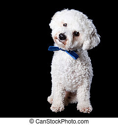 Bichon portrait - Portrait standing Bichon with blue bow on...