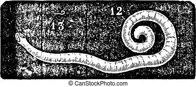 Pinworm or Enterobius, vintage engraving. - Pinworm or...