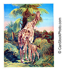 The Giraffe, vintage engraving - Giraffe with her cub,...
