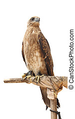 Hawk stand wood turn right on white background.