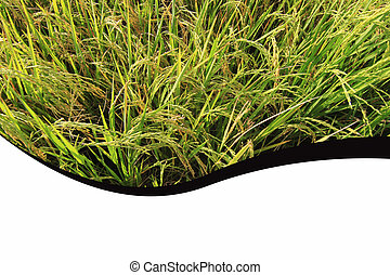 rice paddy abstract background and layout