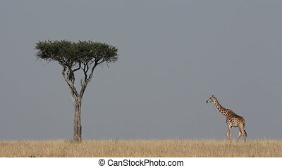 Masai giraffe and tree - Masai giraffe Giraffa...