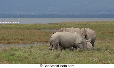 White rhinoceros feeding - White rhinoceros (Ceratotherium...